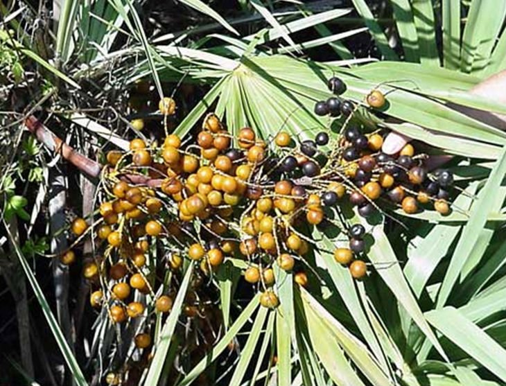 Factory_Direct_Sale_Saw_Palmetto_Fruit_Extract