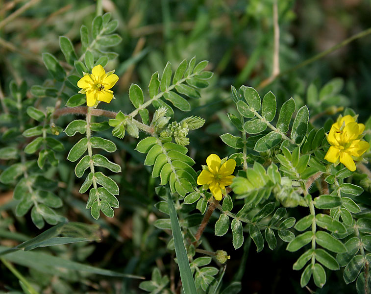 Tribulus_terrestris_(Puncture_Vine_or_Gokharu)_in_Hyderabad_W_IMG_8890